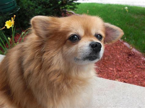 pomeranian problems common health problems of pomeranians