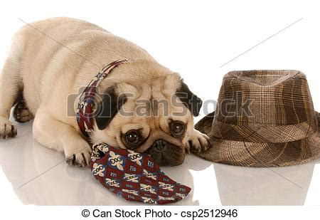 pug tie clip stock image of pug wearing mens tie laying beside fedora csp2512946 search stock