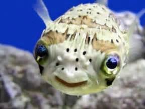 Dwarf Pufferfish : Ikan Buntal Mini   FISH WORLDs.com