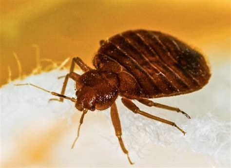 bed bug services bed bug tips for consumes and businesses