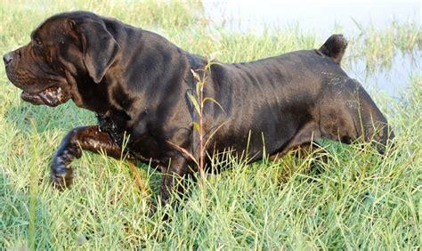 boerboel and rottweiler crossbreed south boerboel mastiff spitsvuur ramkat perros africans