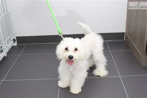 maltipoo puppies for adoption maltipoos malti poo maltipoo puppy for adoption near