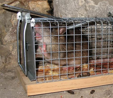ate ant trap how to get rid of rats easiest and most effective way