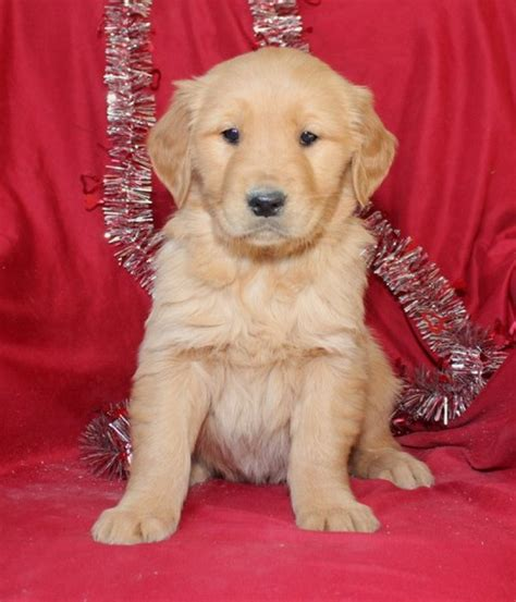 healthy golden retriever healthy and golden retriever offer