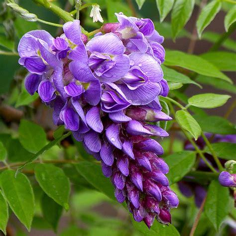 american wisteria wisteria frutescens amethyst falls flickr photo sharing