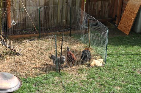 The Backyard Chicken Raising Backyard Chickens For Dummies Modern Farmer