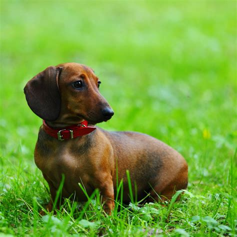 breed information dachshund breed information and pictures upcomingcarshq