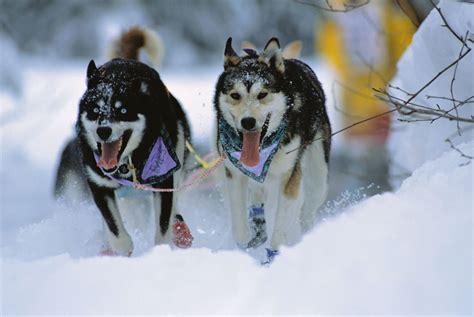 alaskan sled dogs a brief history of sledding westmark hotels