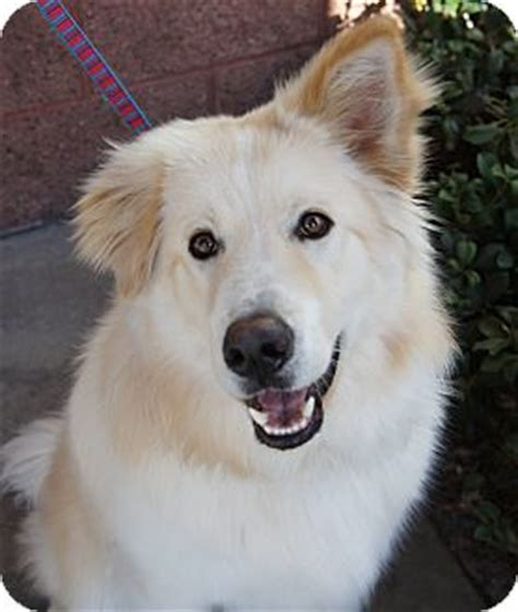 samoyed golden retriever mix autumnwind golden retrievers golden retrievers los alamitos 2015 personal