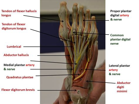 foot yeditepe anatomy lab