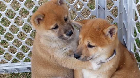 shiba inu puppies southbay shiba inu puppies