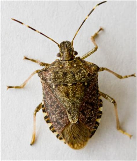 stink bugs in house green risks stink bugs congregating on your house