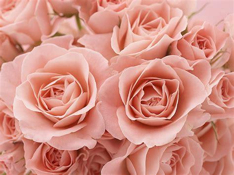 Buket Bunga Mawar Satin Maroon And Gold rosa hintergrundbilder rosa fotos