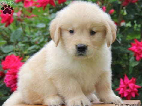 golden retriever puppys for sale splash golden retriever puppy for sale from parkesburg pa greenfield puppies