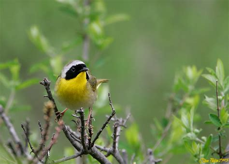common yellowthroat photo steve parkin photos at pbase com