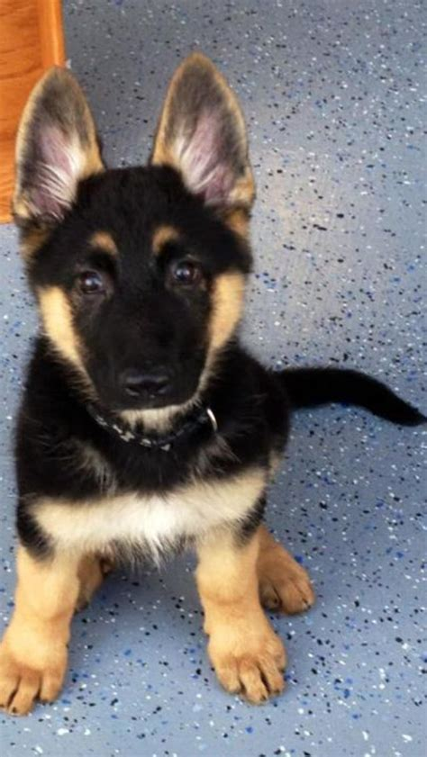 where to get a german shepherd puppy 89 best images about german shepherds on guardians of ga hoole walt