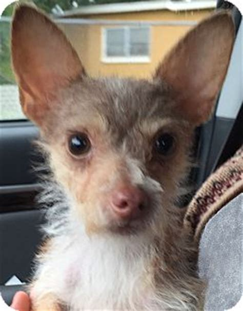 yorkie rescue orlando orlando fl yorkie terrier chihuahua mix meet a for adoption