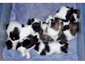 shih tzu puppies for sale in cleveland ga shih tzu puppies in