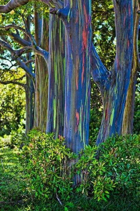 rainbow trees rainbow eucalyptus tree in hawaii and philippines pics n
