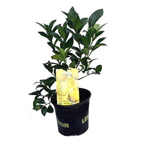 indoor lemon tree indoor citrus  fruit trees