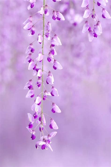 pretty in pink and purple on pinterest lilacs purple lavender wisteria flowers flowers gardens