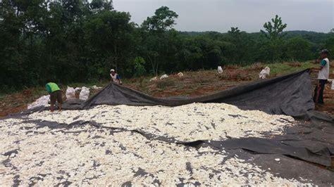 Harga Bungkil Kedelai Terbaru proses pembuatan gaplek di jasinga bogor agrifood id