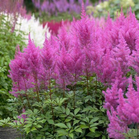 Indoor Fragrant Plants - astilbe gloria purpurea longfield gardens