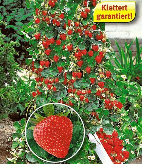 die 25 besten ideen zu erdbeeren pflanzen auf