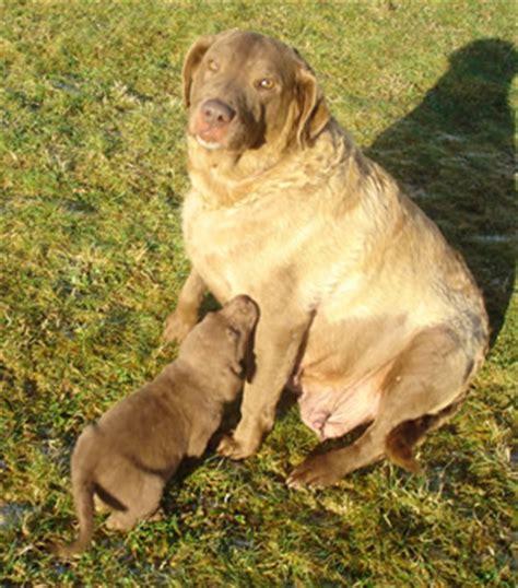 chesapeake puppies for sale brave chesapeake bay retriever breeders nc caroldoey