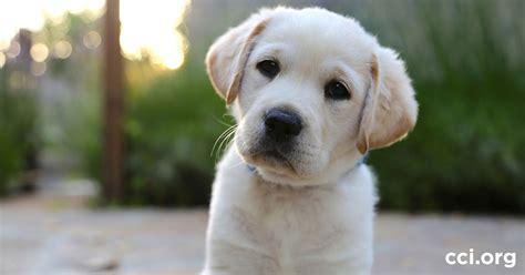 cciorg   volunteer puppy raiser