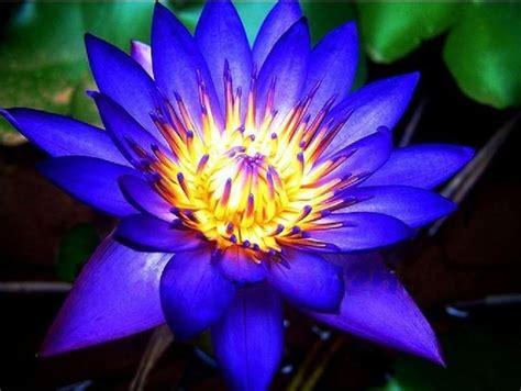 loto fiore significato loto significato fiori significato fior di
