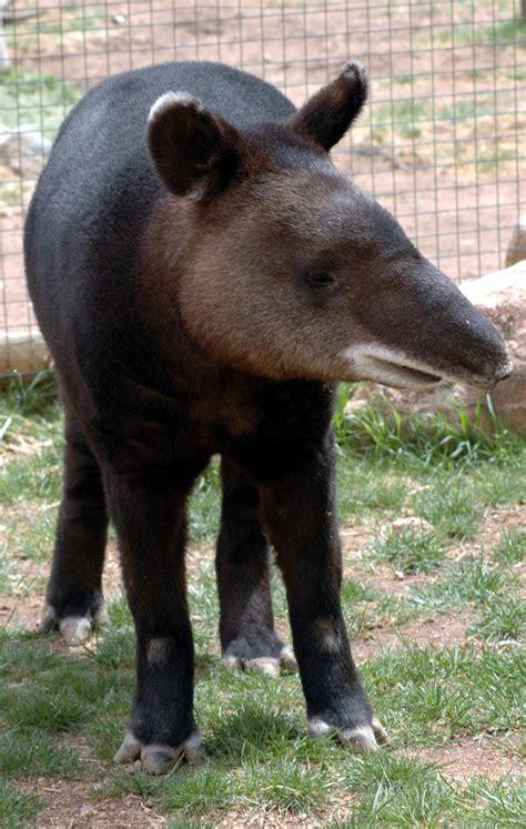 cmzoo waterhole big mountain tapir news   preview