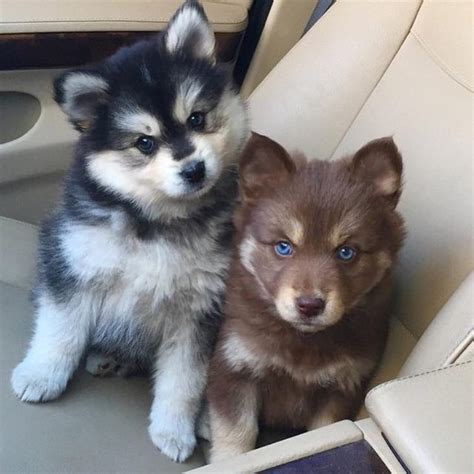 pomeranian husky mix puppies for sale pomsky husky pomeranian mix discover more ideas