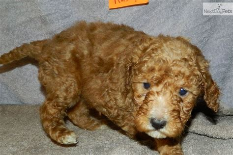 mini doodle puppies indiana meet a goldendoodle puppy for sale for 1 050