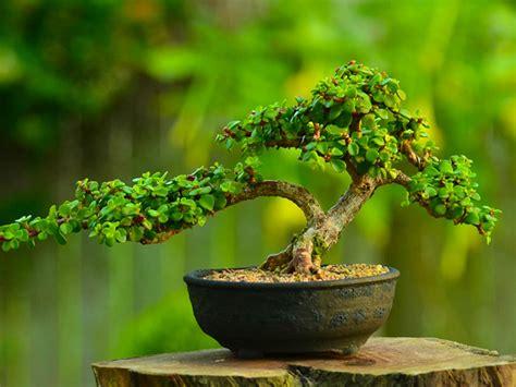 grow  care   elephant bush portulacaria