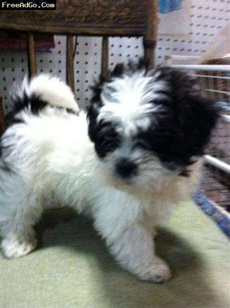 maltese shih tzu mix puppies shih tzu maltese mix puppies for sale in wisconsin breeds picture