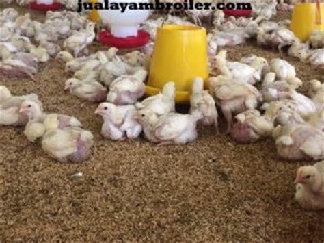 Jual Bibit Ayam Broiler Jakarta jual ayam broiler di tebet jakarta selatan jual ayam broiler