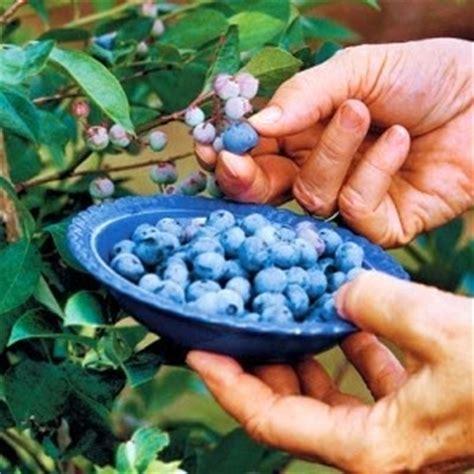 Jual Bibit Buah Blueberry tanaman buah buahan tanaman buah blueberry vaccinium sp