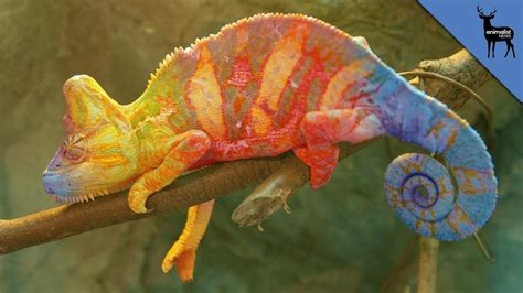 color fight chameleons fight using colors