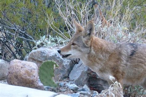 What is the Coyote Color - Foremost Coyote Hunting
