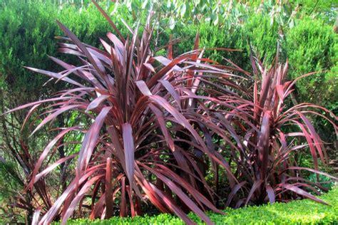 cordyline australis red sensation cordyline red sensation plant photos information