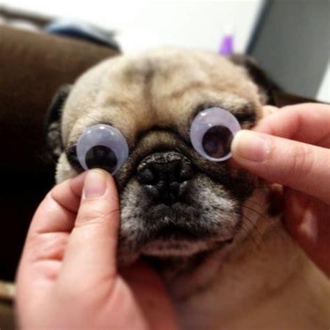 pug encephalitis pde el carlino gublog