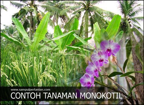 contoh tanaman monokotil  monocotyledon tanaman