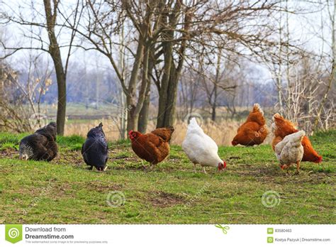 colorful chickens colorful chickens on feed stock photo image