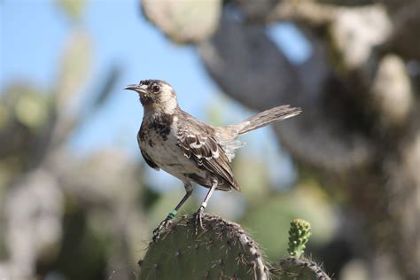 how the galapagos mockingbird got its name galapagos