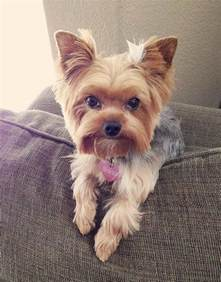 yorkie pics with hair top 35 latest yorkie haircuts pictures yorkshire terrier