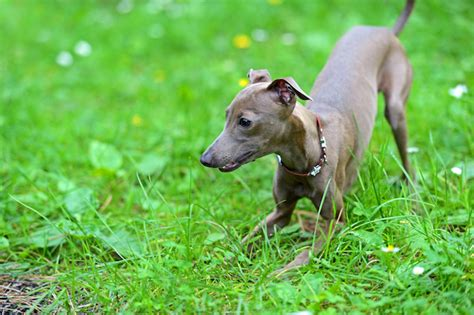 Do Greyhounds Shed Hair by 15 Breeds That Hardly Shed Iheartdogs