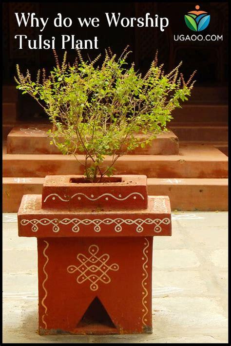 worship tulsi plant tulsi plant tulasi plant