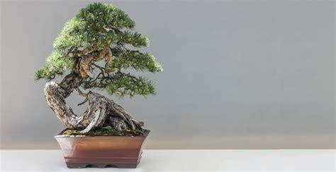 jenis tanaman bonsai terbaik tokopedia blog