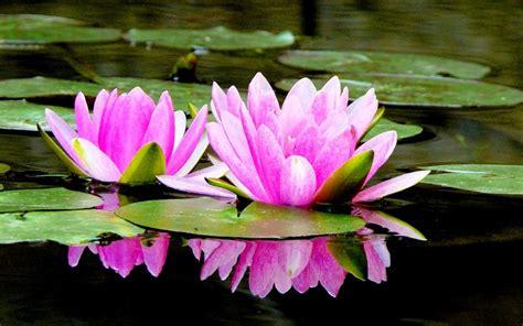 gambar bunga teratai mekar  air beautiful flower
